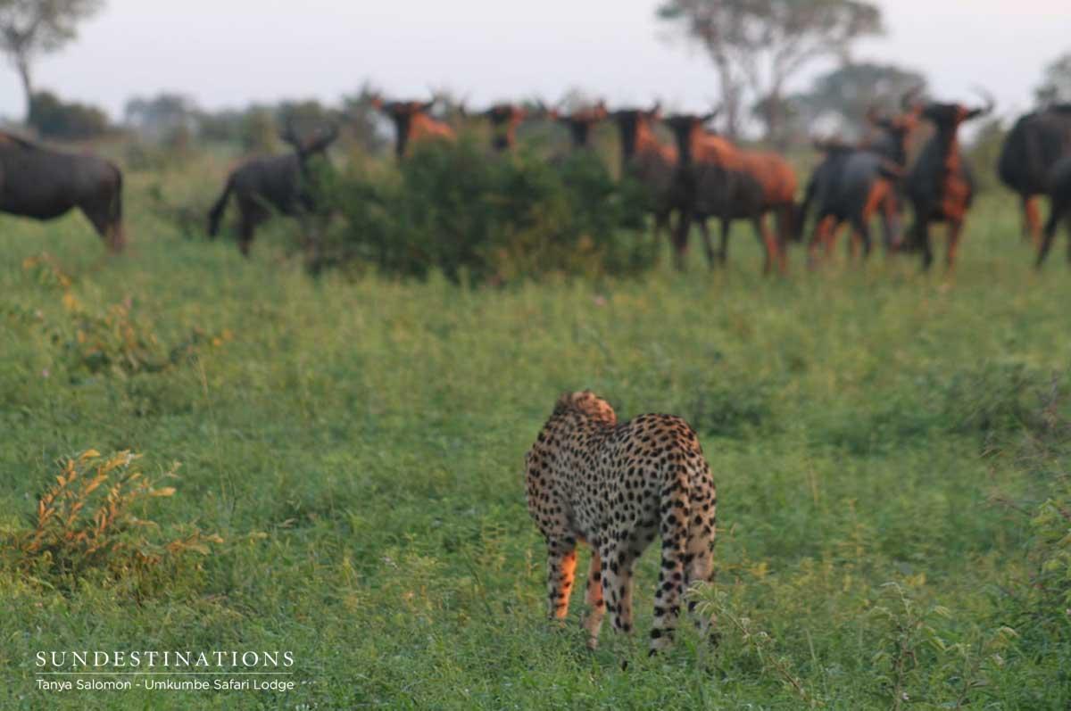 Cheetah in Umkumbe