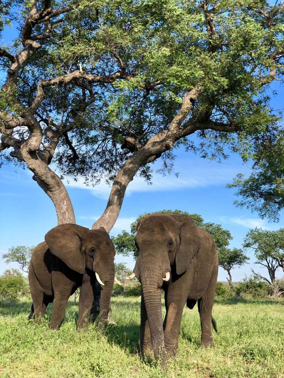 Elephants and Marula Trees