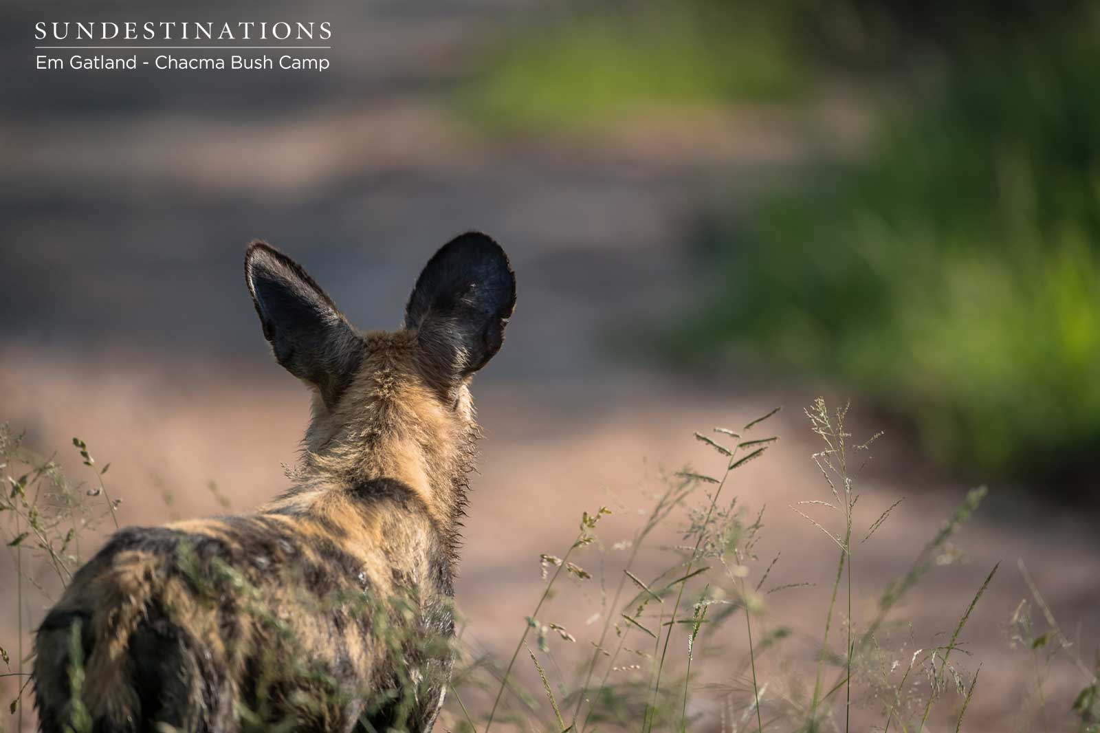Wild Dogs at Chacma