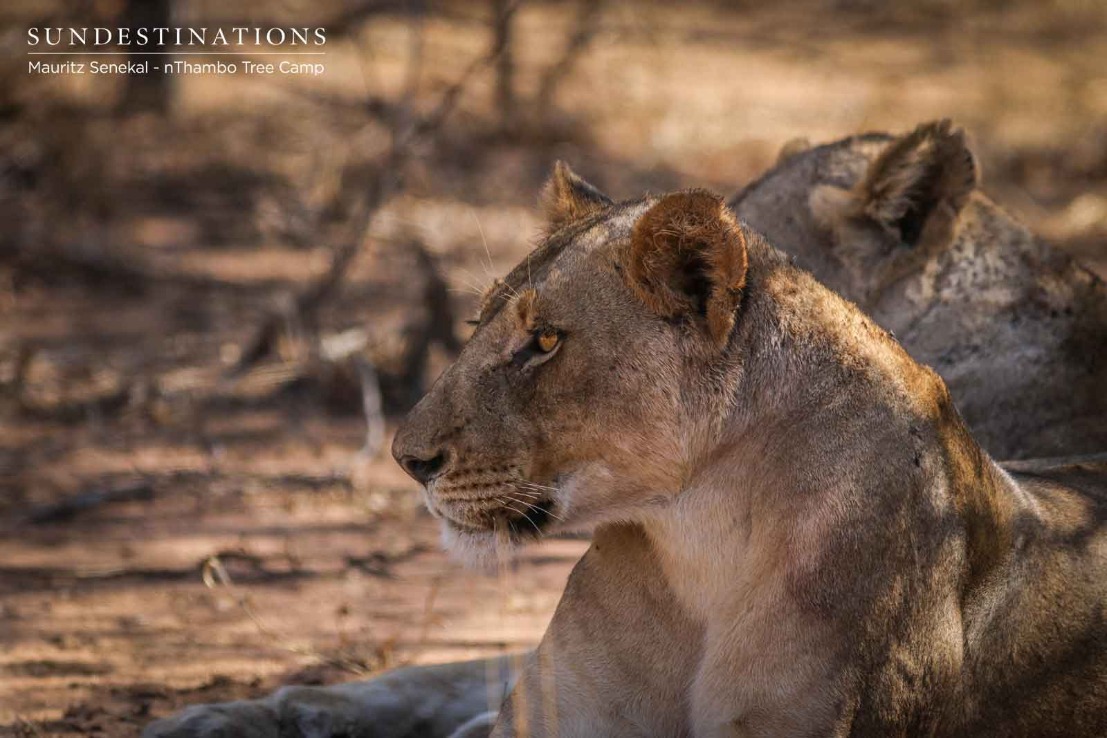 nThambo Lioness Klaserie