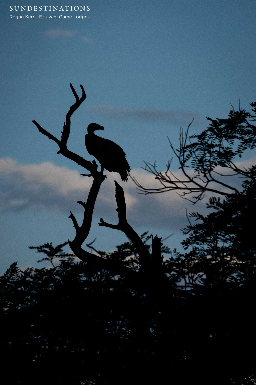 Vulture Silhouette Ezulwini