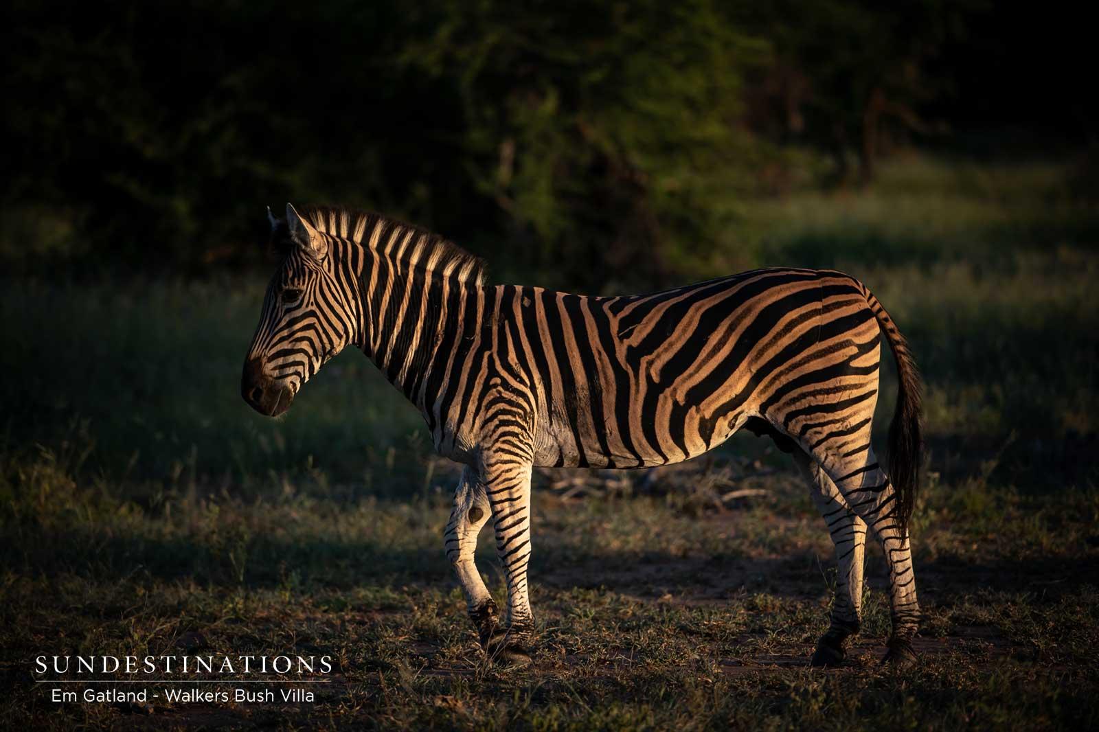 Zebra at Walkers Bush Villa
