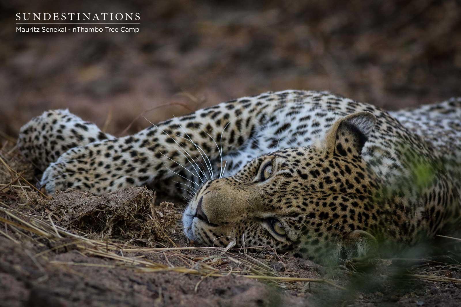 Bundu the Leopard