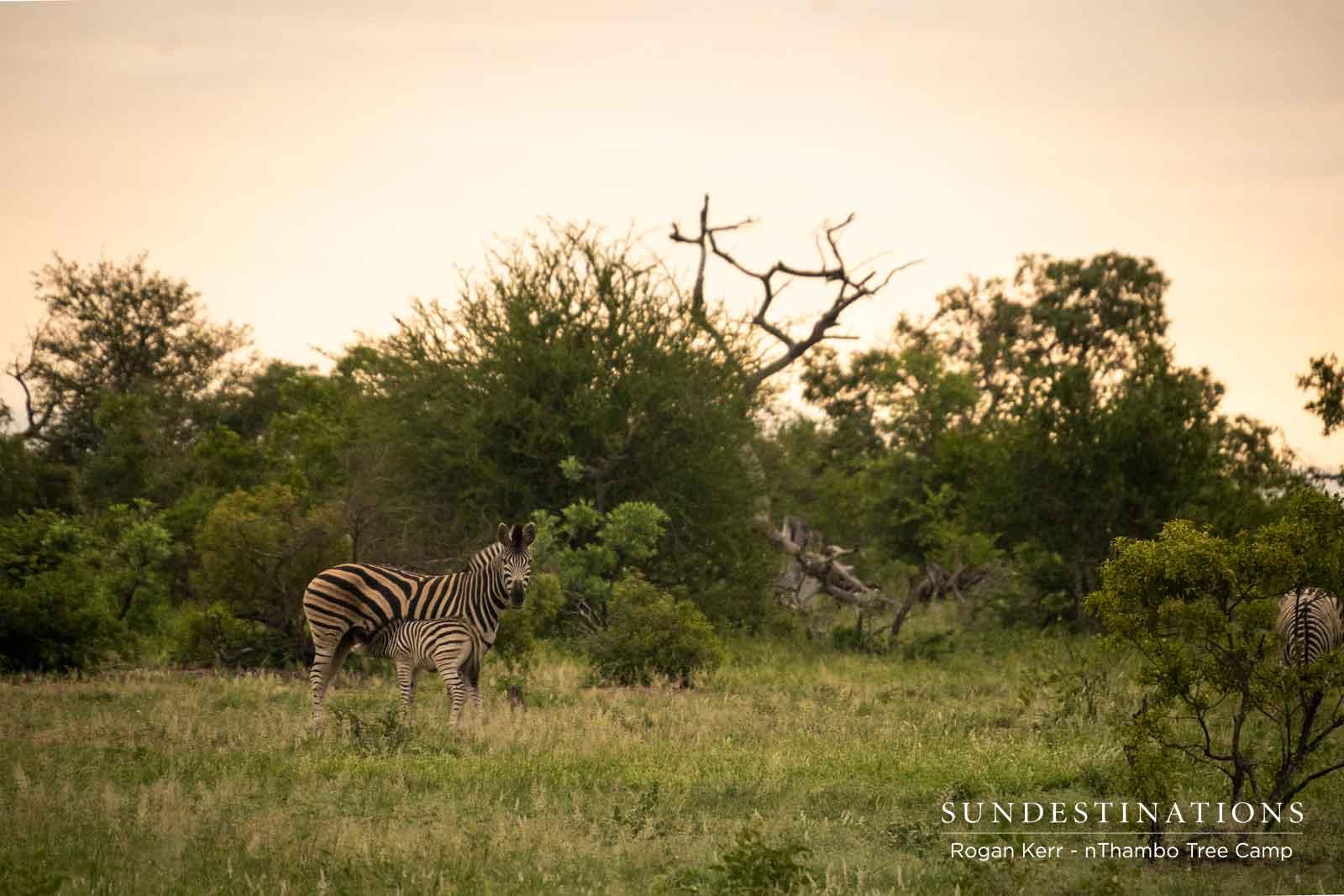 Zebra Herds in nThambo