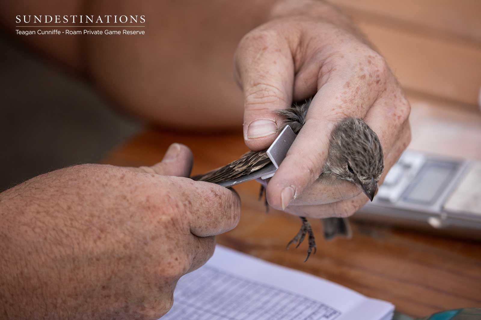Tagging Birds in the Great Karoo