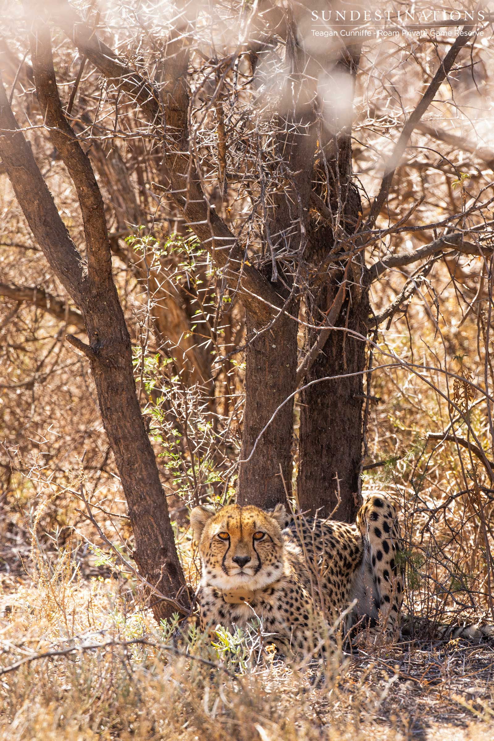 Cheetah Female in Roam Reserve