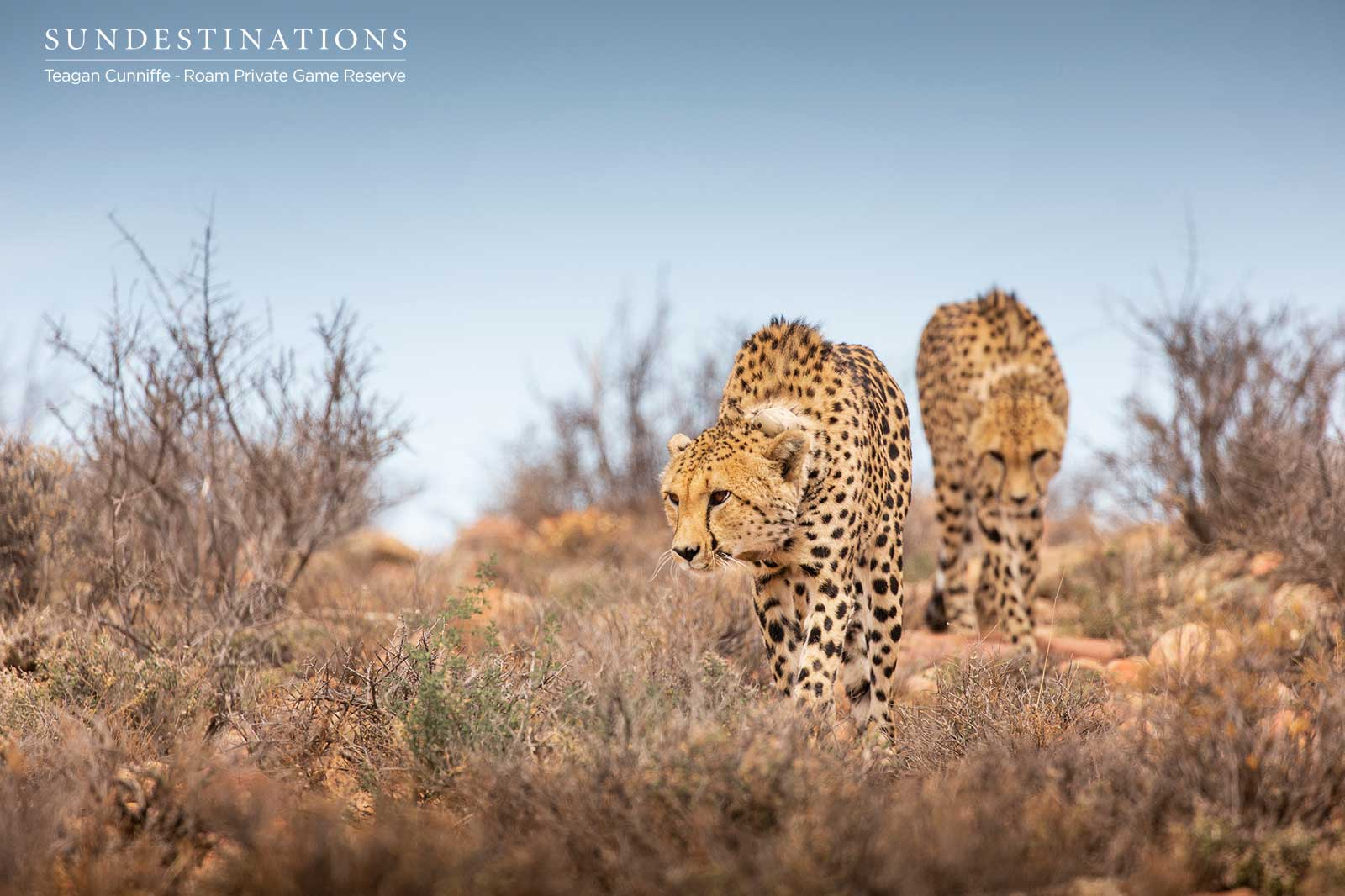 A Warm Welcome to the Female Cheetah at Roam Private Game Reserve