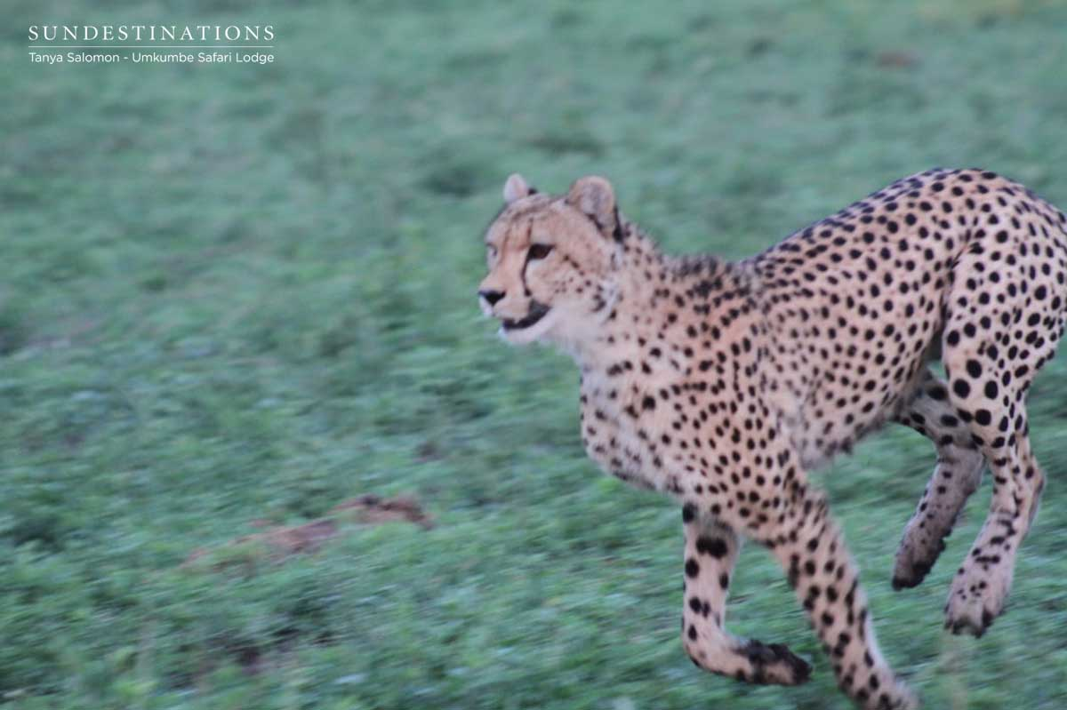 Cheetah Youngsters Attempt to Take Down a Wildebeest