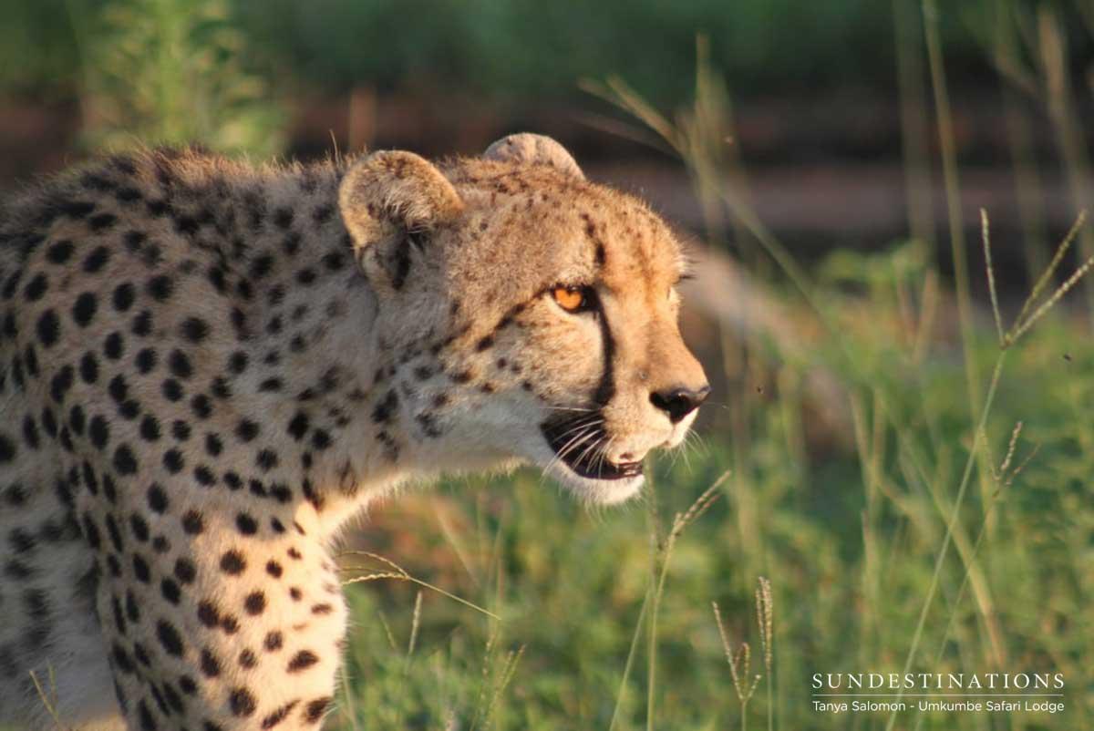 Cheetah Umkumbe