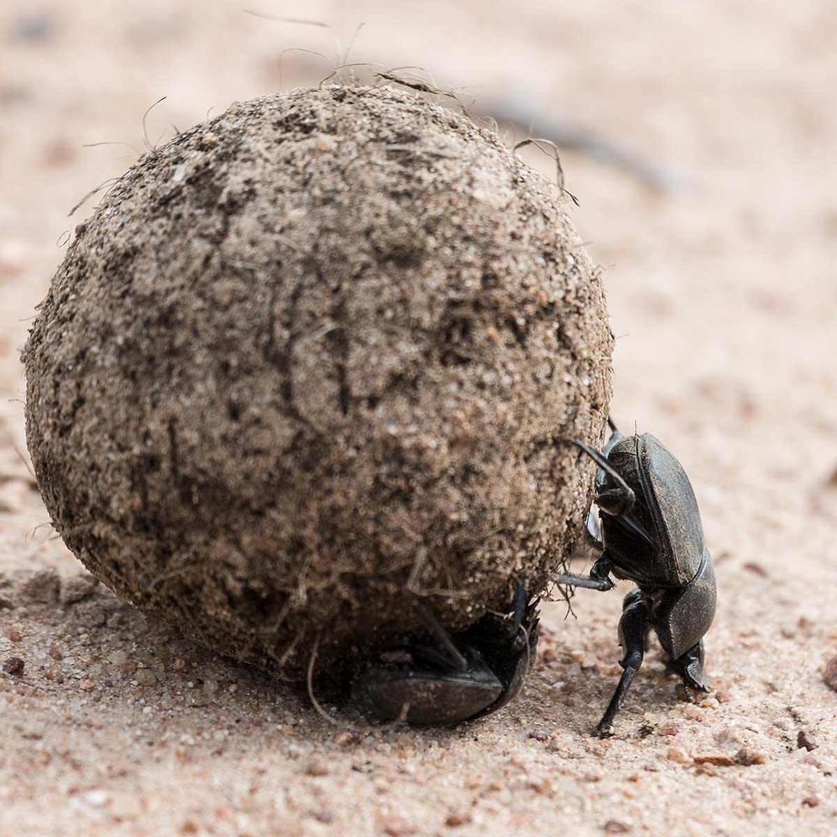 Dung Beetles in Klaserie