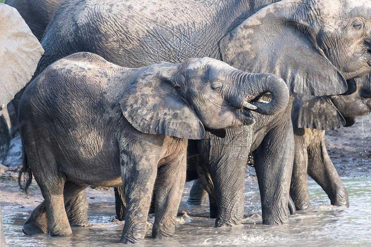 Elephants  in Klaserie
