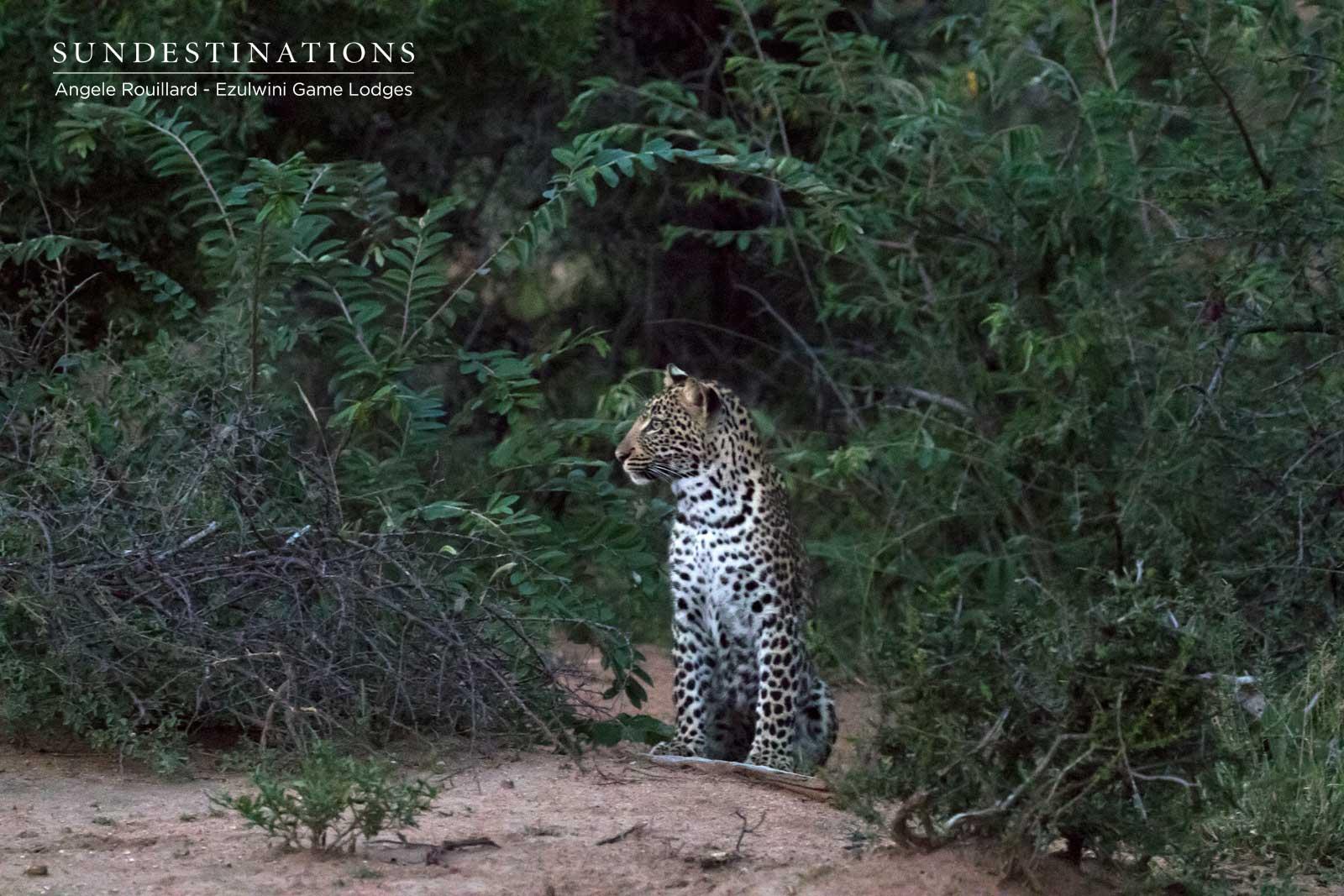 Ezulwini Leopard Cubs in the Balule