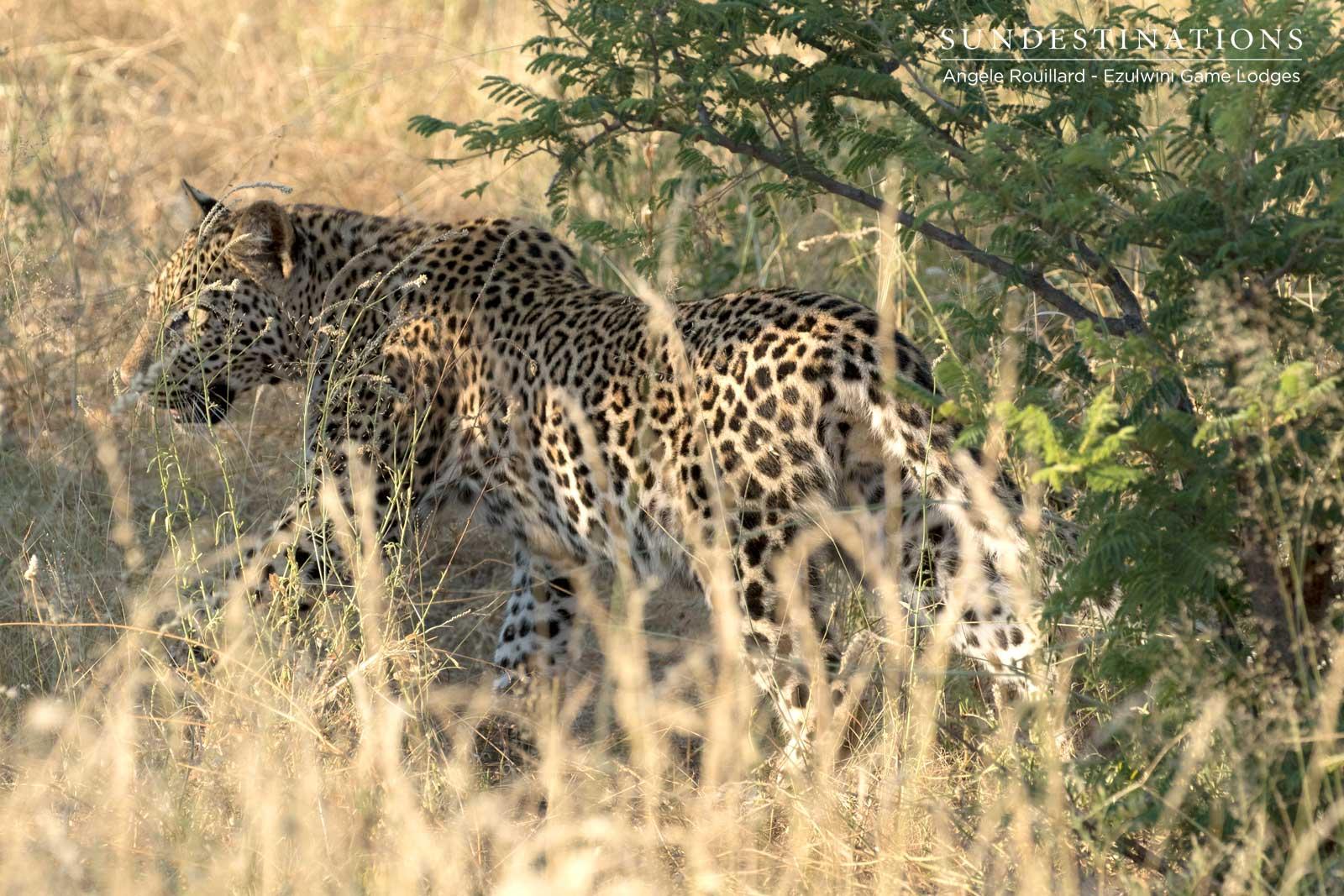 Leopard Cub at Ezulwini Game Lodges