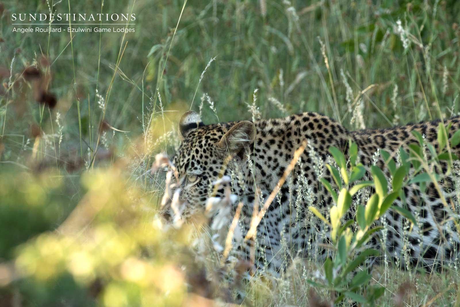 Leopard Cub at Ezulwini