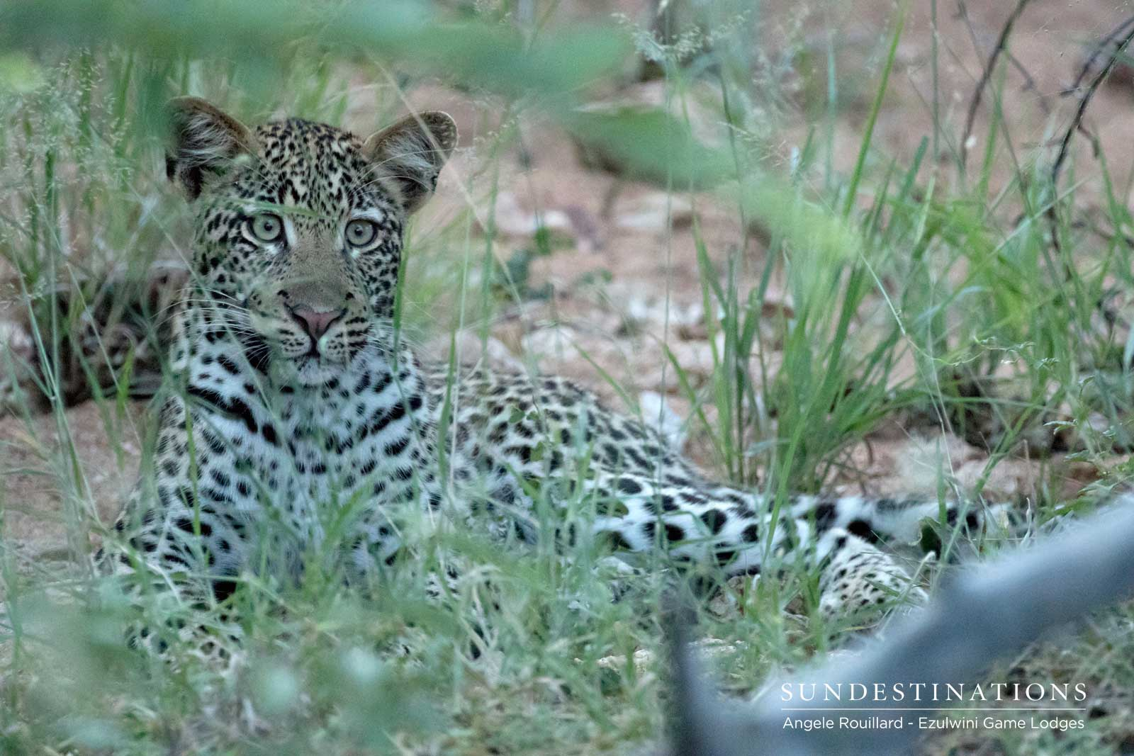Ezulwini Leopard Catch-up : Independent Cub Steals the Show