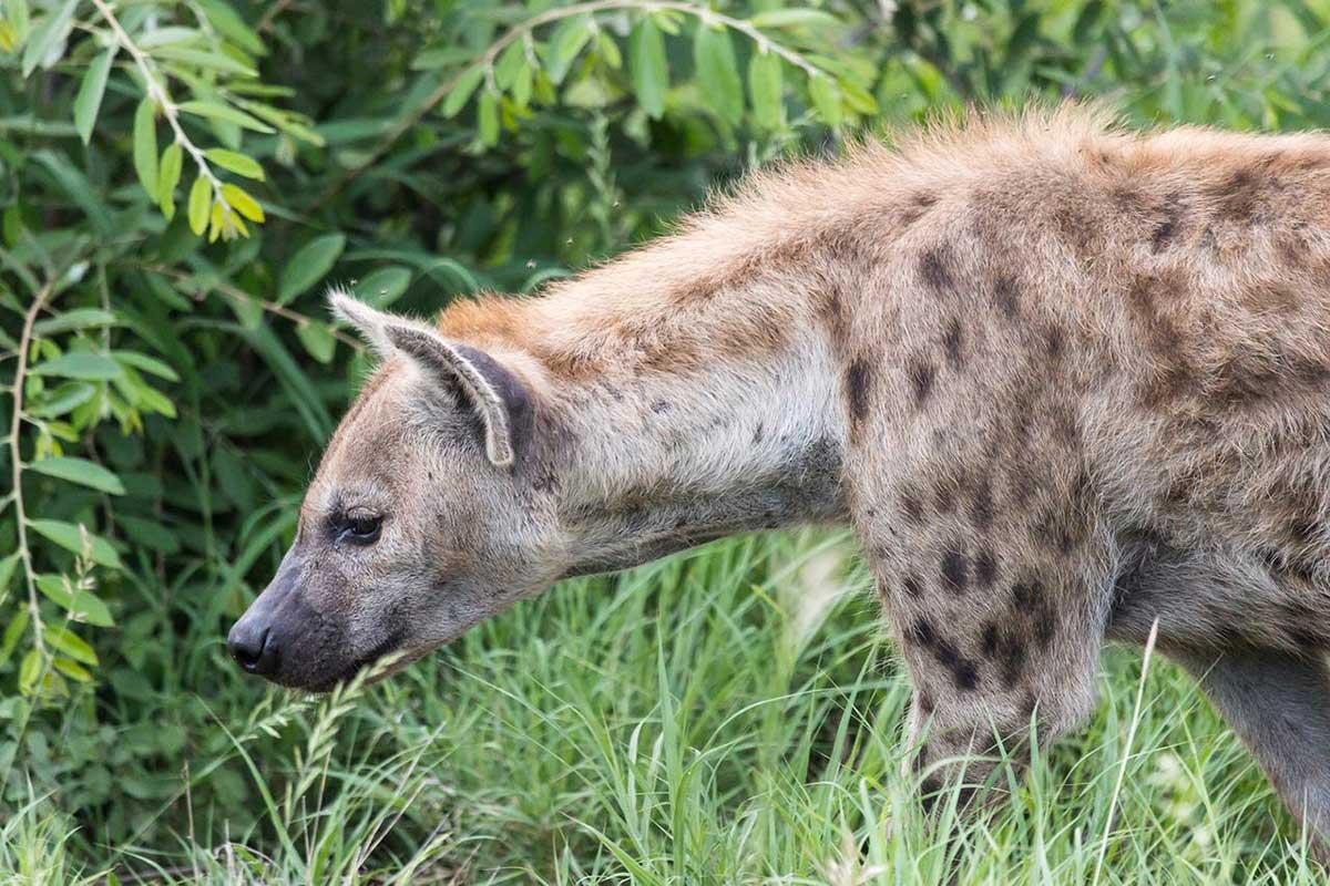 Hyena in Klaserie