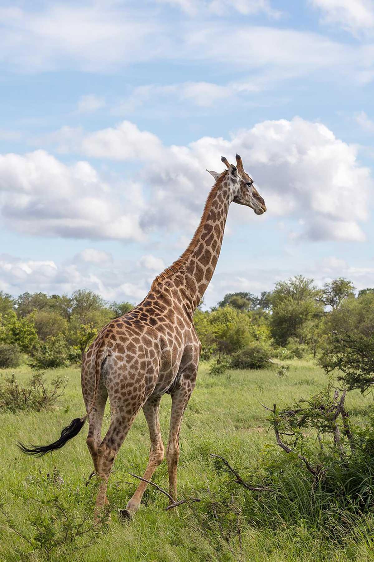 Klaserie Giraffe