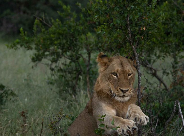 Mauritz Chats About the Recent Lion Sightings in the Klaserie