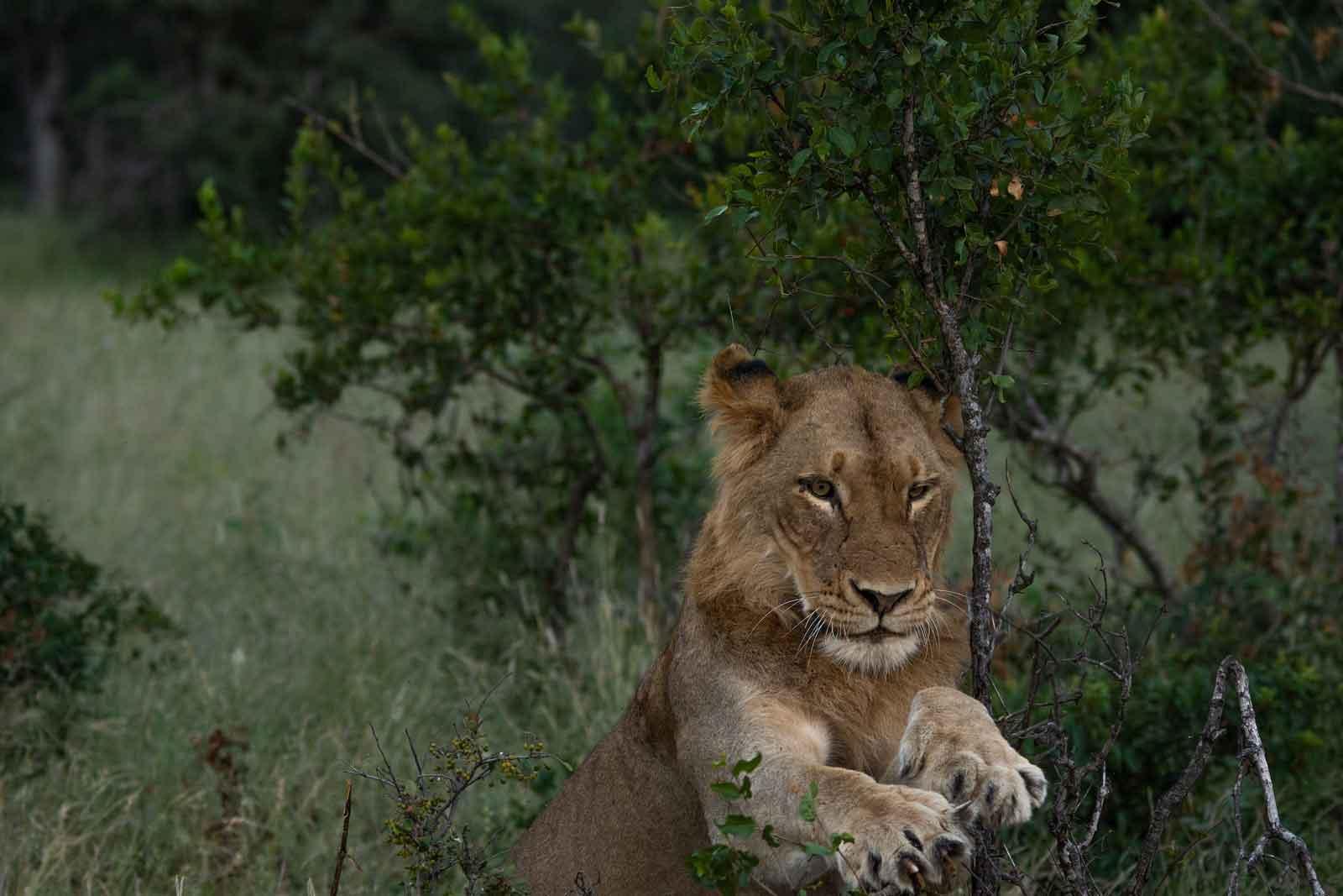 River Pride Male Lion
