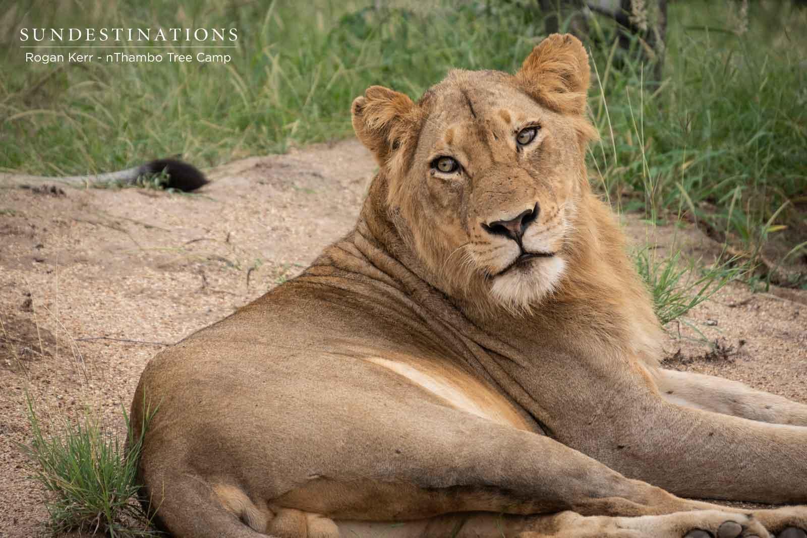 River Pride nThambo Lions