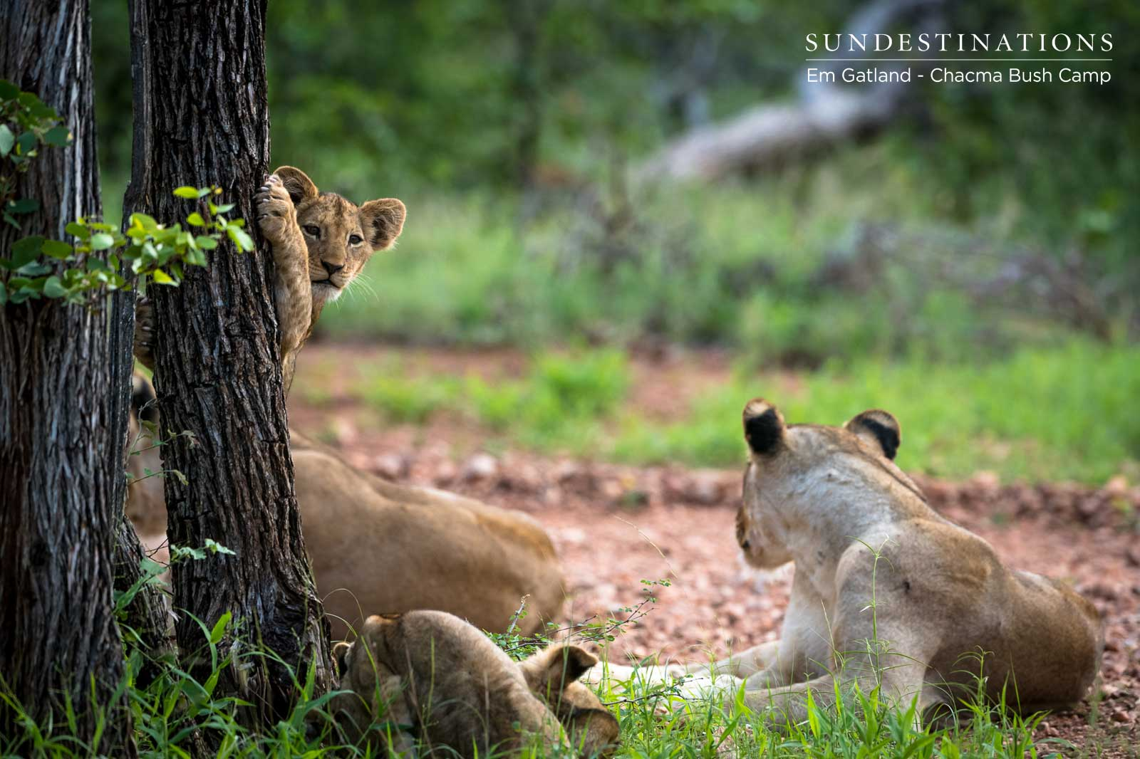 Lion Cubs at Chacma