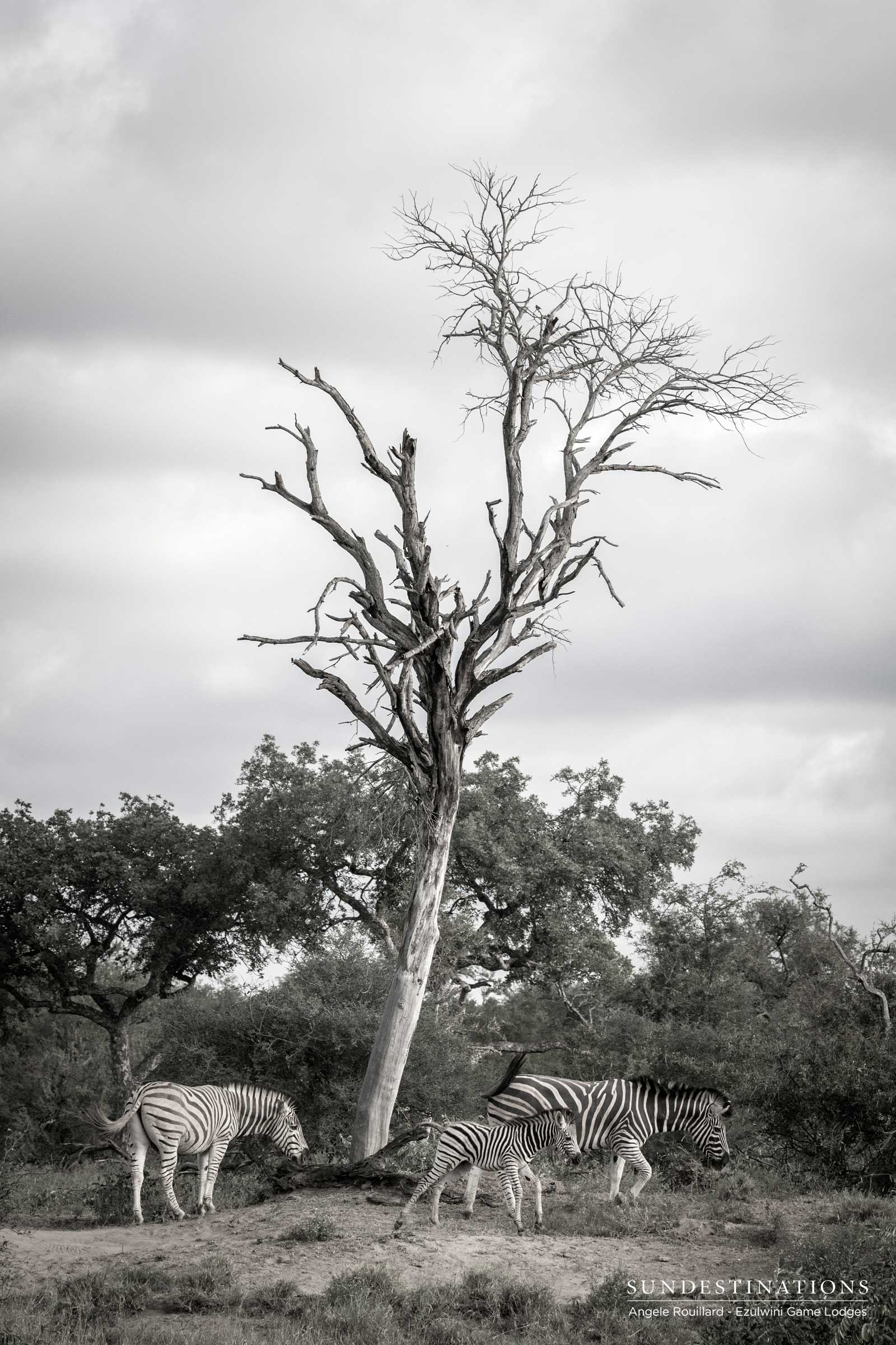 Zebra at Ezulwini Game Lodges