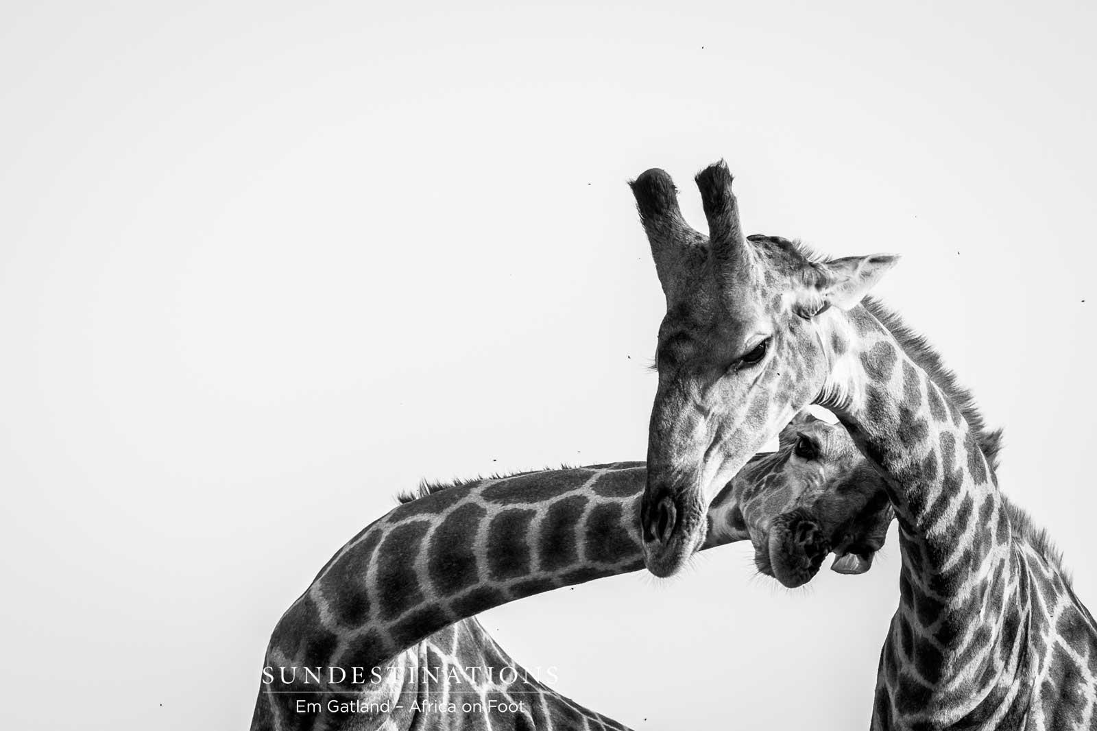Giraffe Africa on Foot