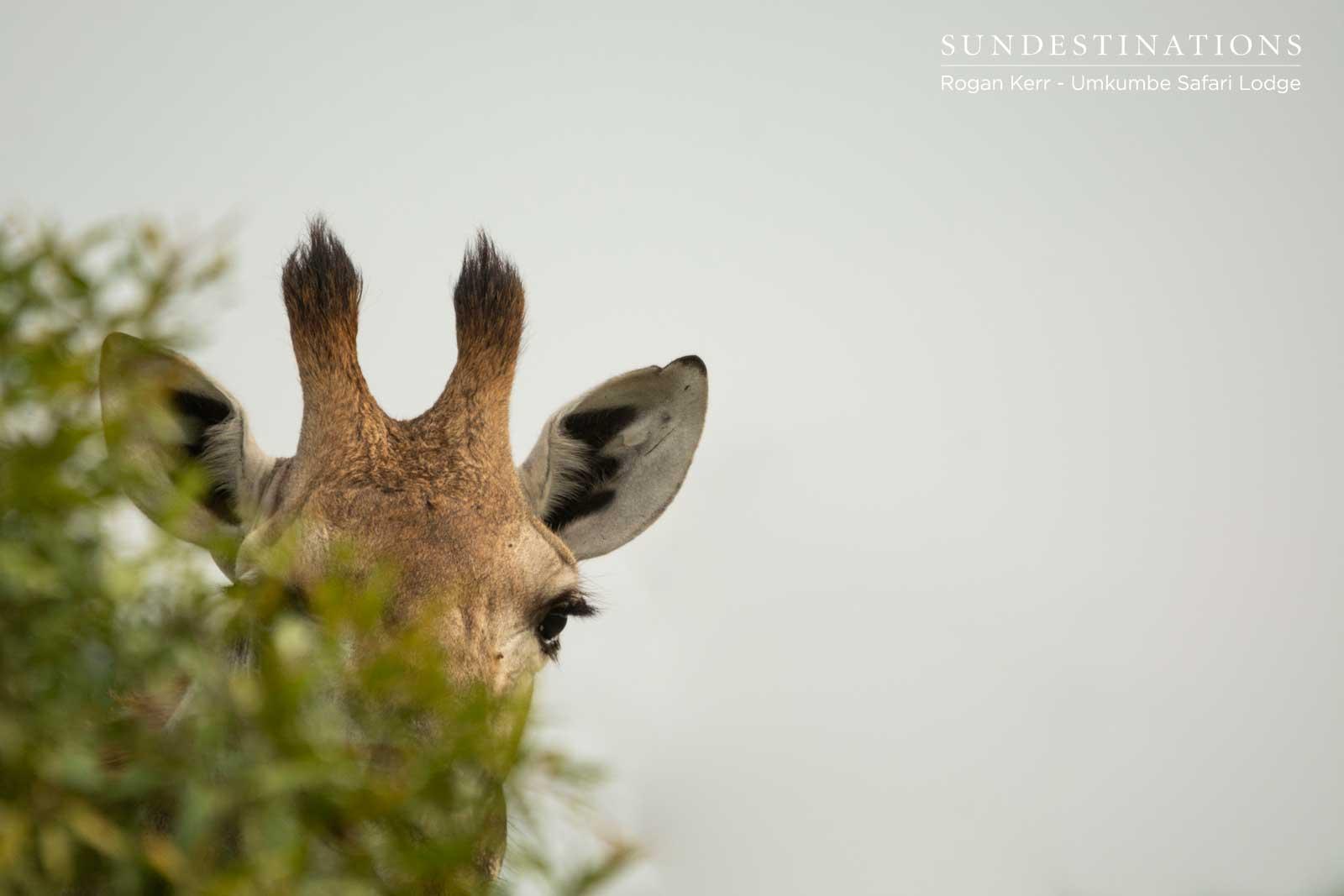 Giraffe at Umkumbe