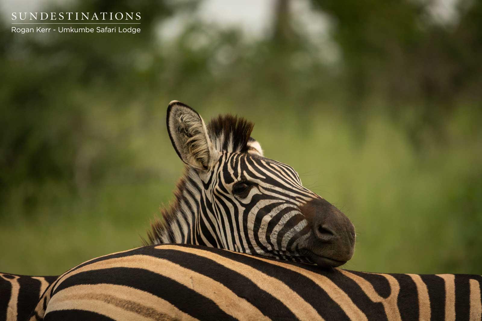 Zebra at Umkmbe Safari Lodge