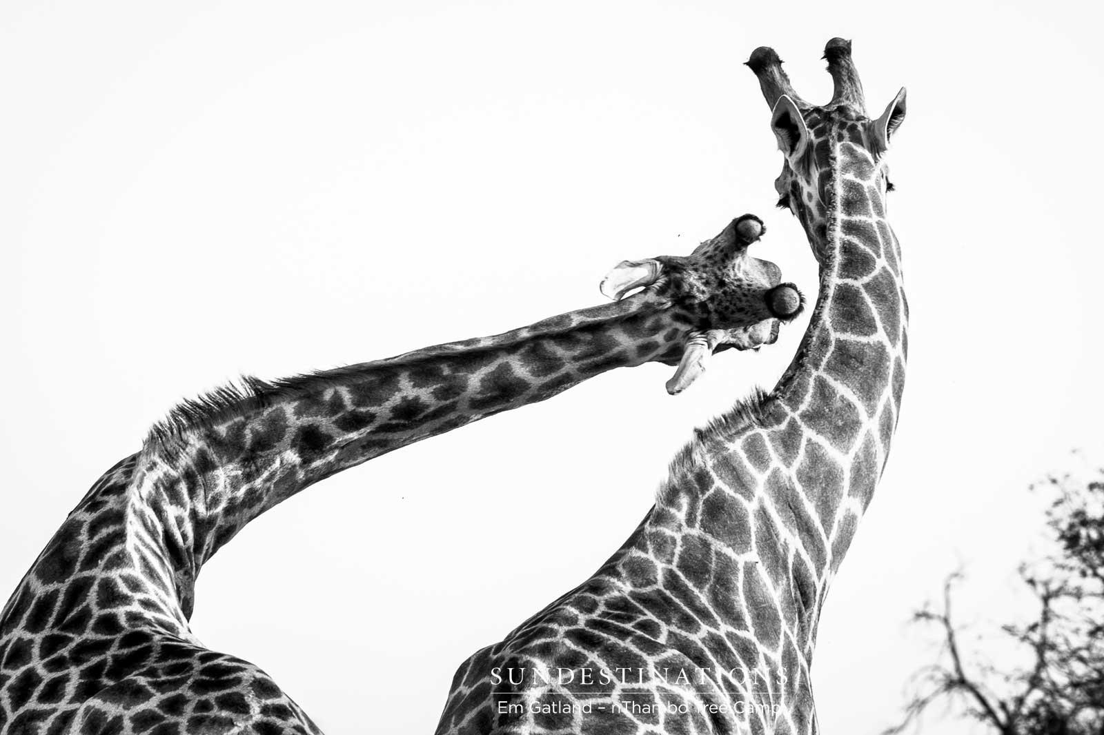 Giraffe at nThambo