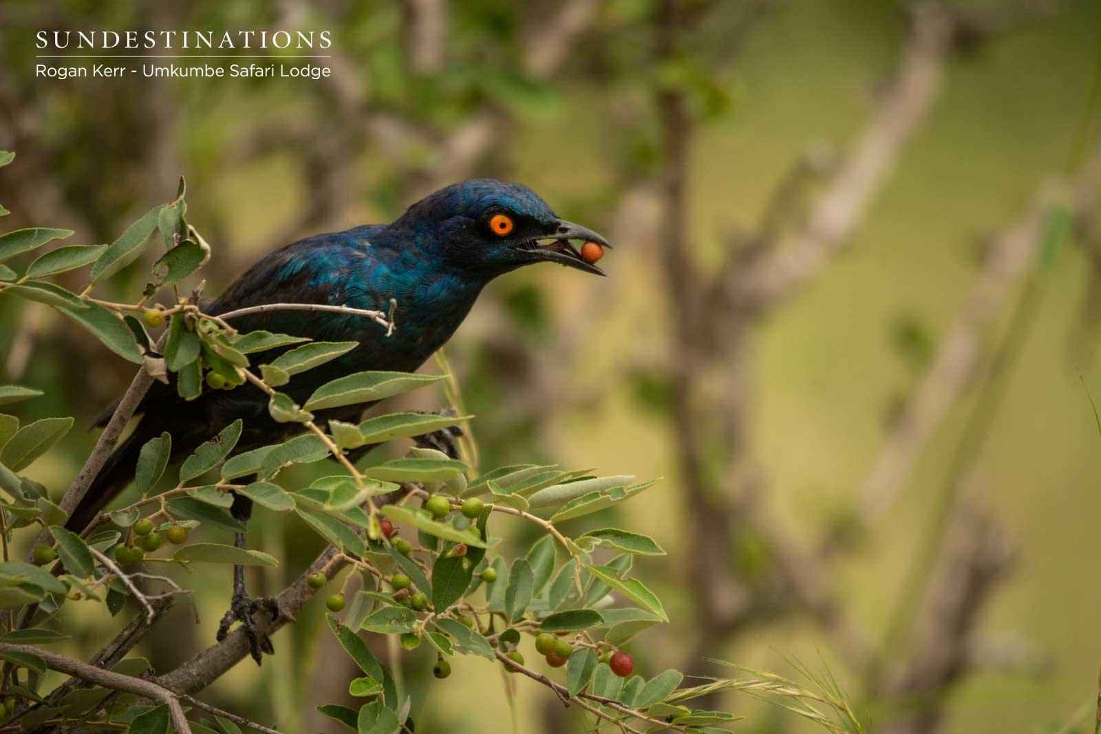 Birdlife at Umkumbe Safari Lodge