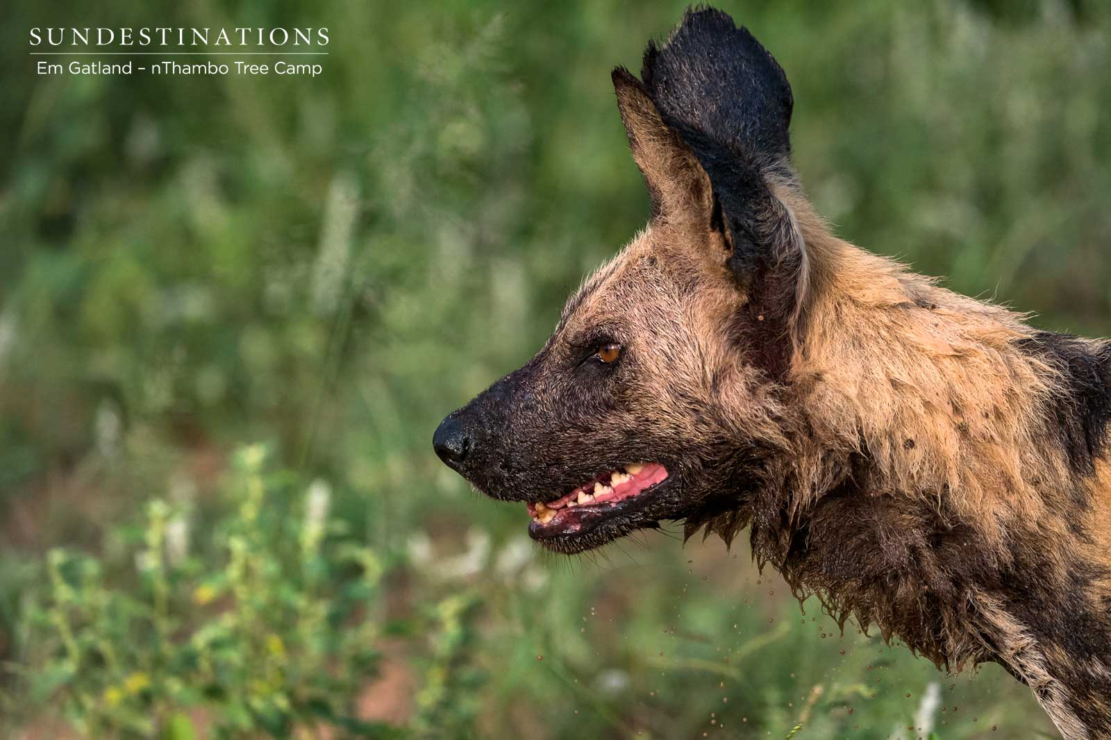 Wild Dogs at nThambo Tree Camp