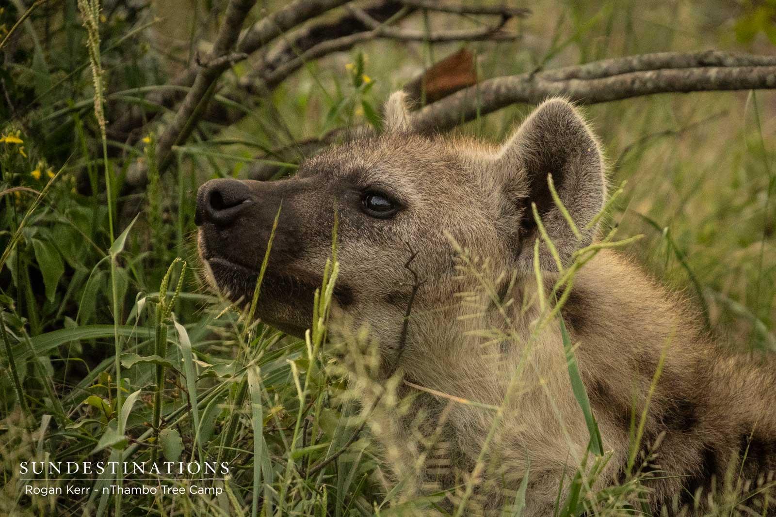 Hyena at nThambo Tree Camp