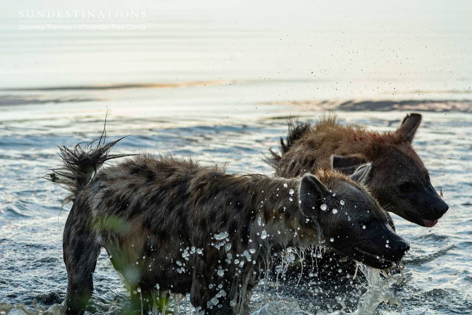 Hyena at Waterhole