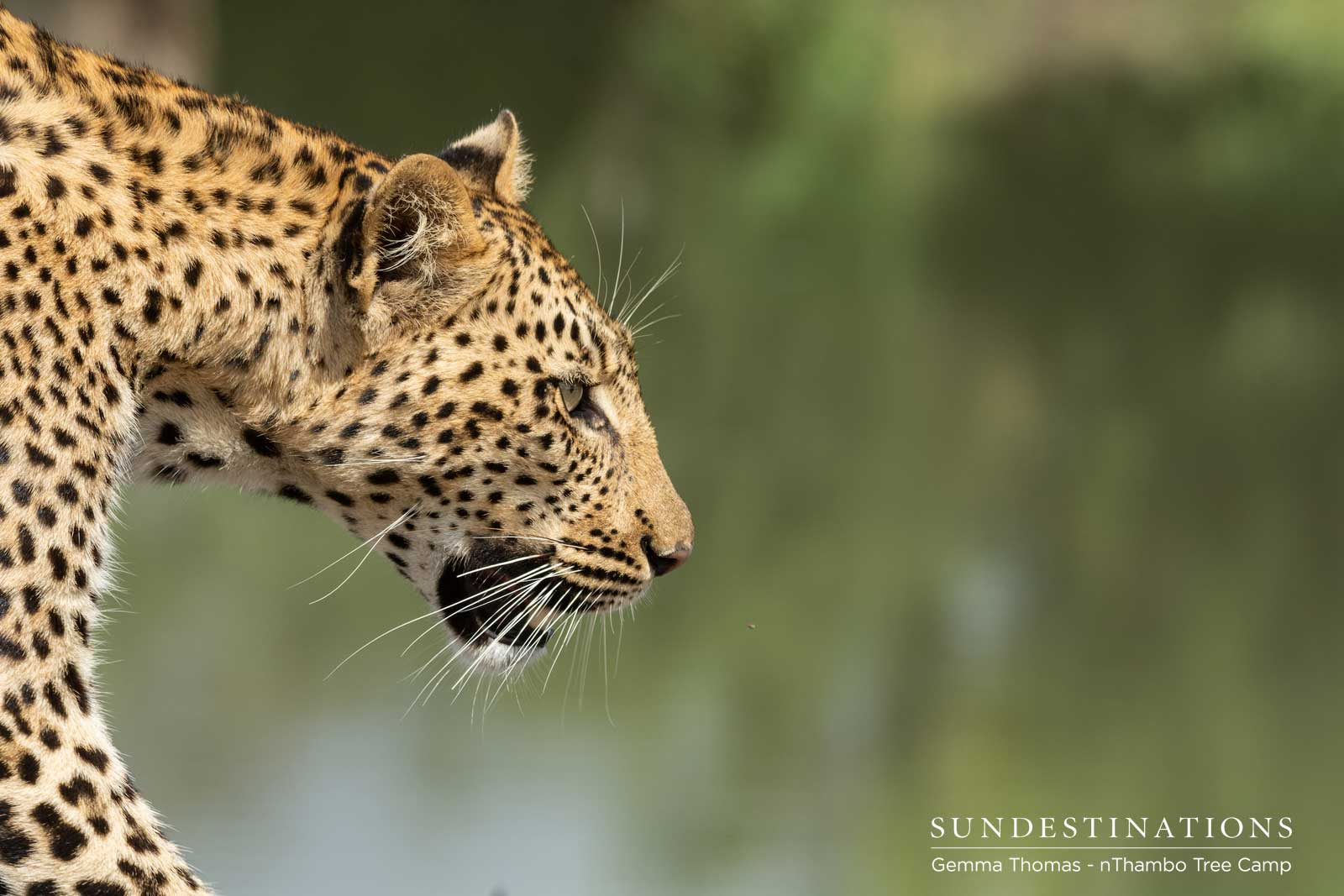 Leopard Watches Hyena at Waterhole