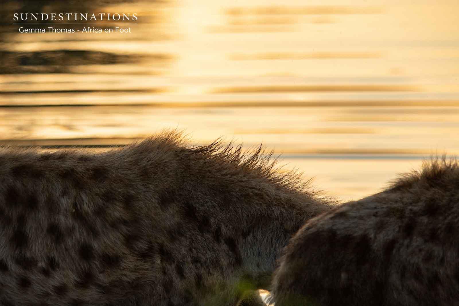 Africa on Foot Hyenas