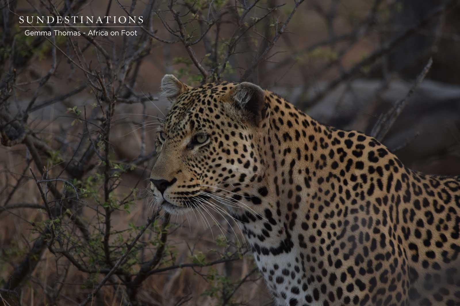 Mondsweni male leopard