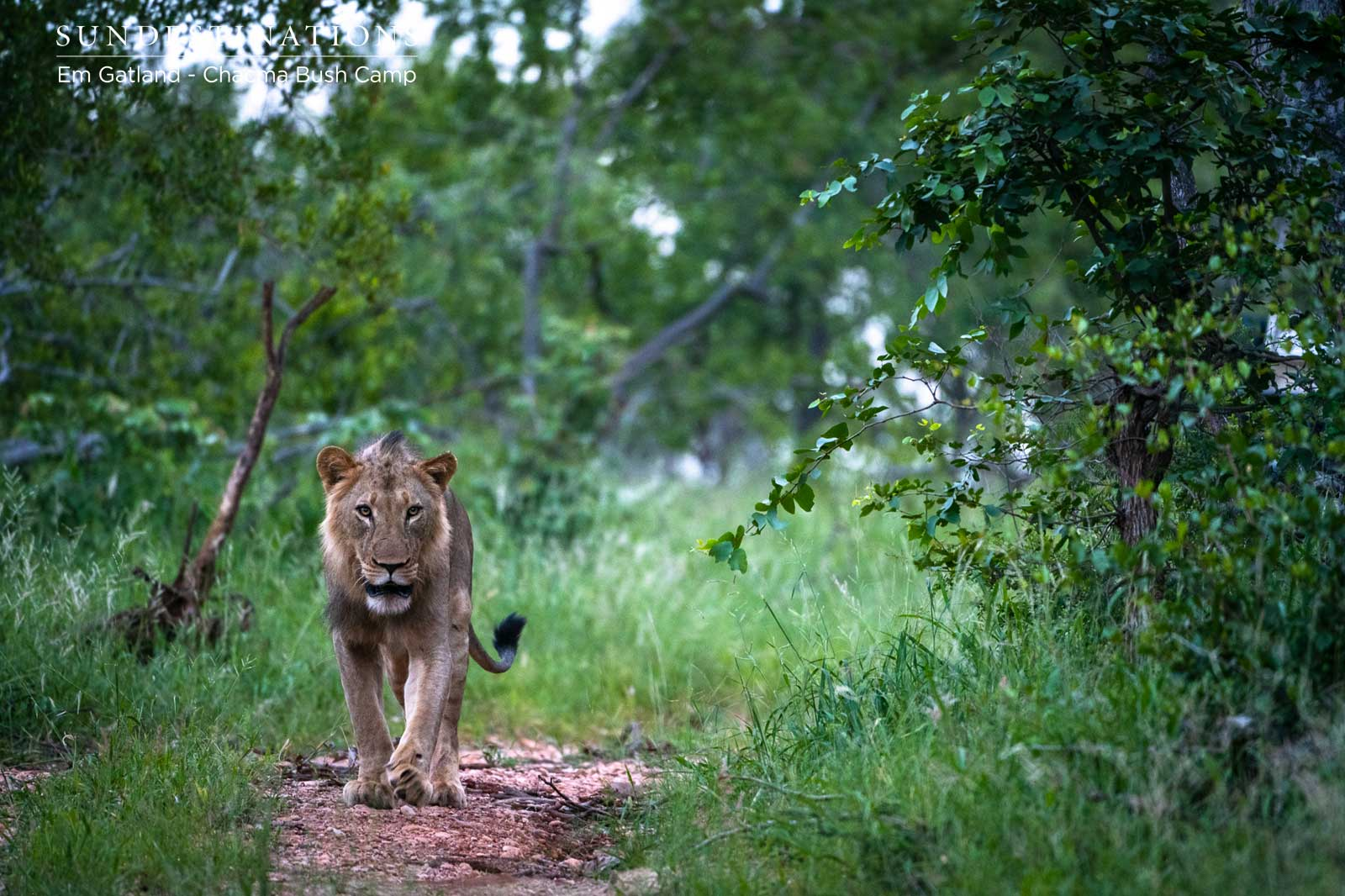 Male Lions at Chacma Bush Camp
