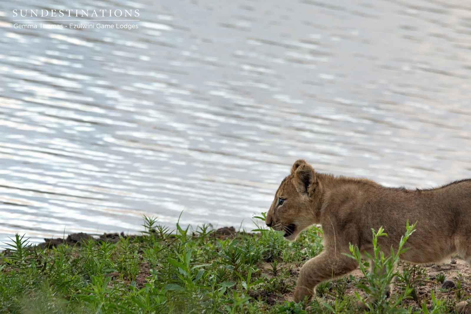 Ezulwini Lion Cubs
