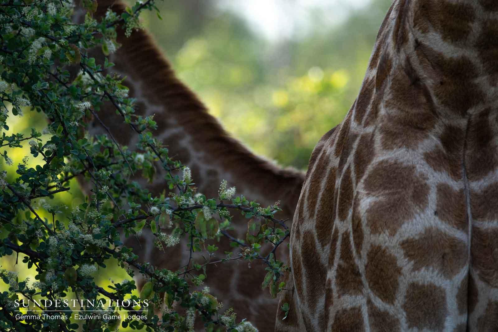 Giraffe Hide in Ezulwini