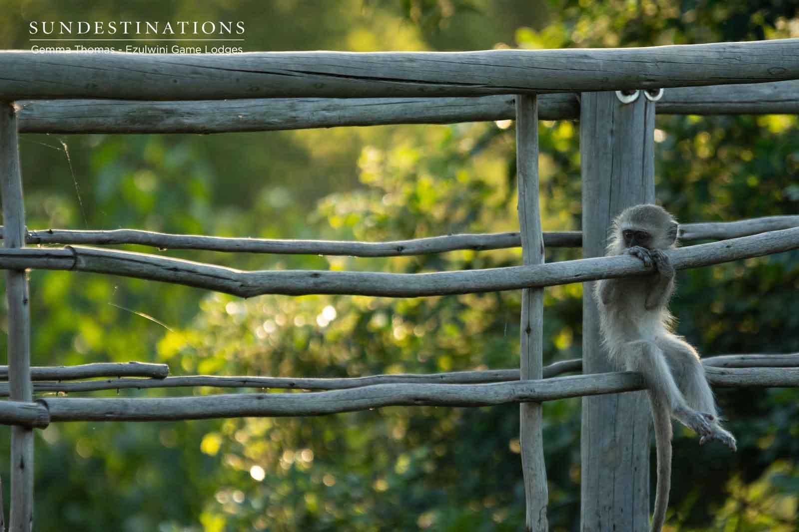Ezulwini Vervet Monkey