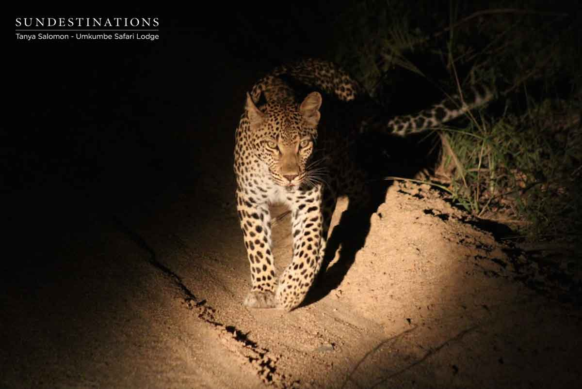 Leopards of Umkumbe Safari Lodge
