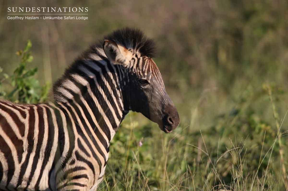 Zebra Foal at Umkumbe