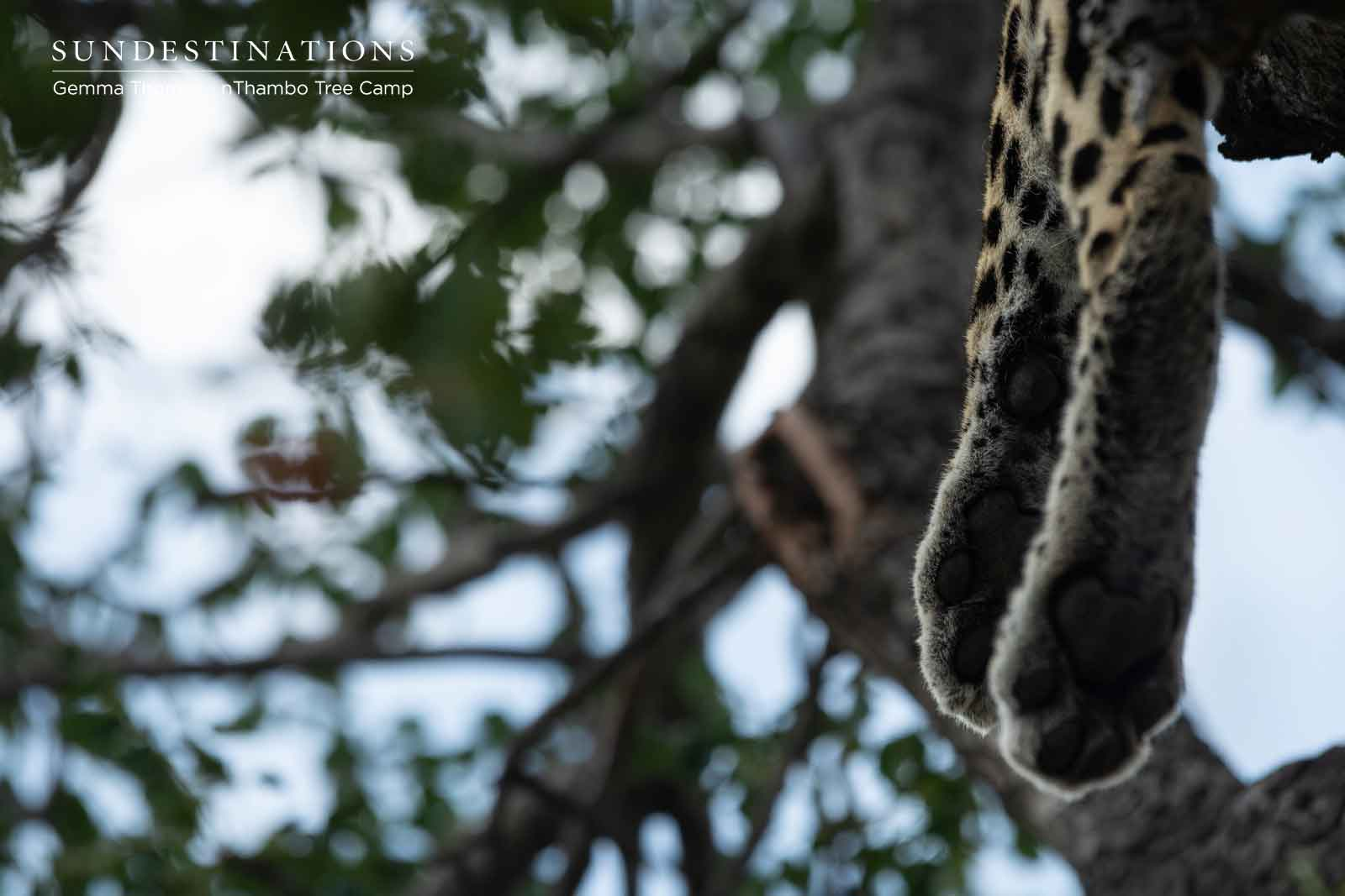 Leopards in Tree at nThambo