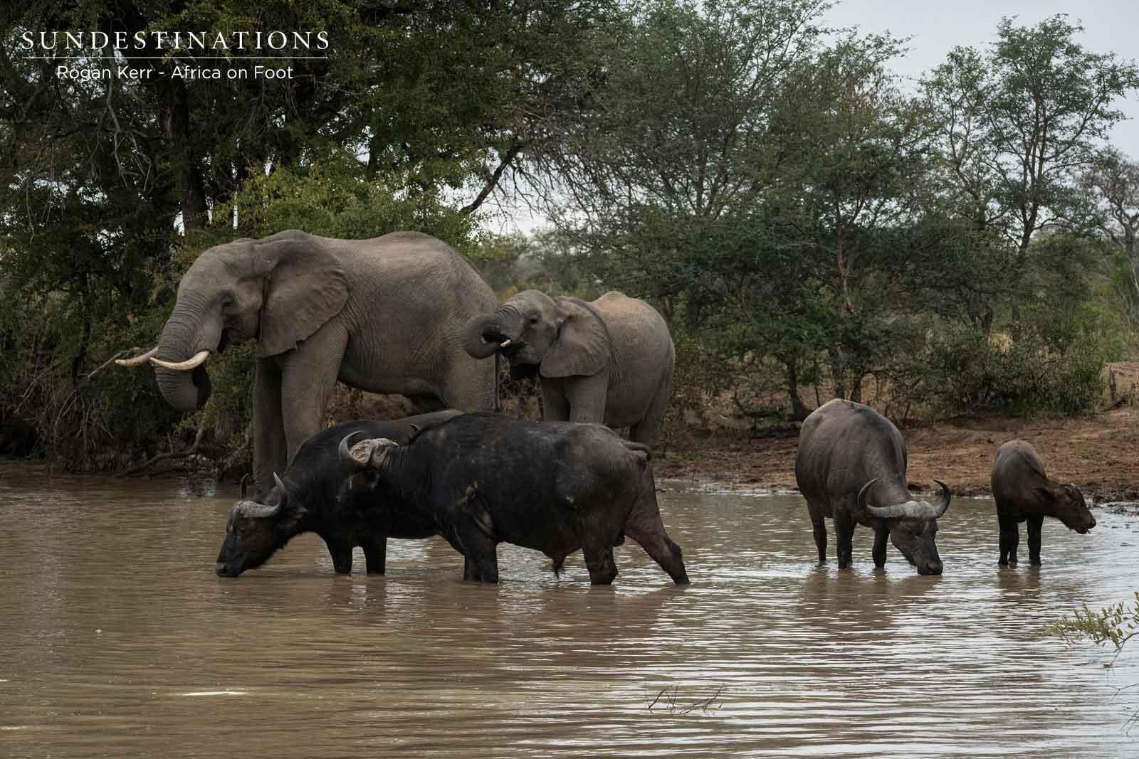 Buffalo and Elephants Africa on Foot
