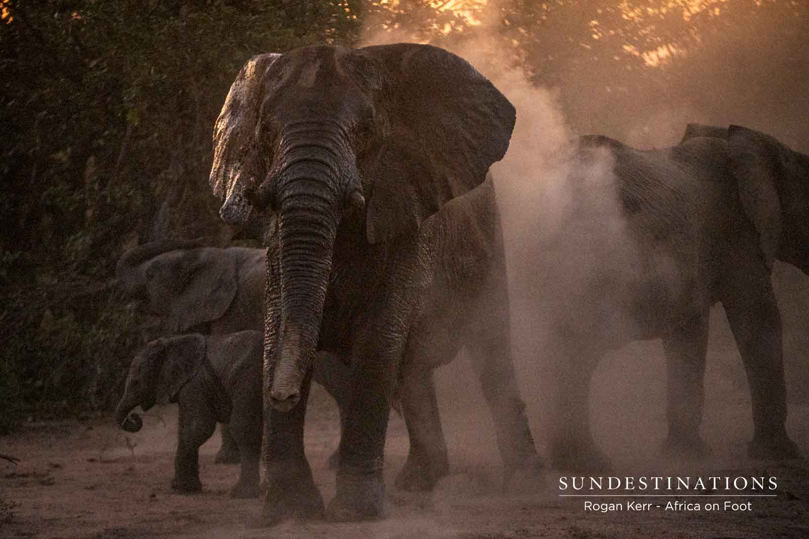 Dust Bathing with Elephants
