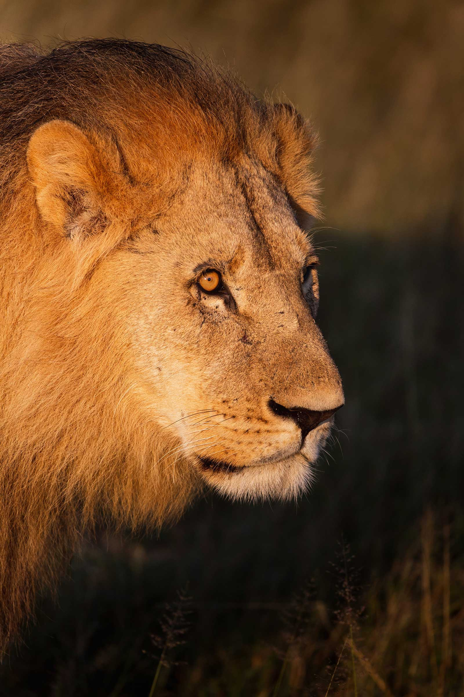 Camp Savuti Amber Lion