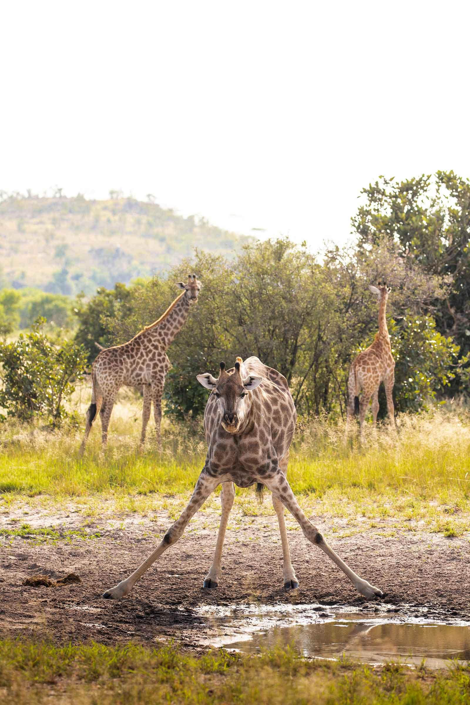 Camp Savuti Giraffe