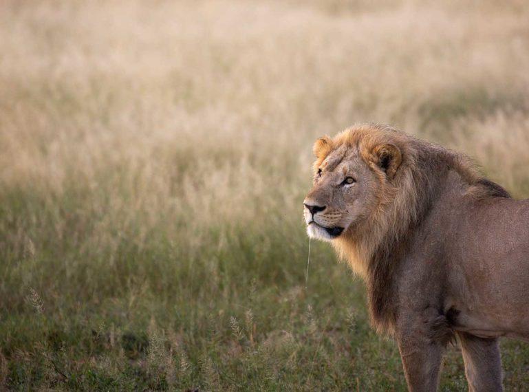 Teagan Tracks the Famously Savage Lions of Savuti