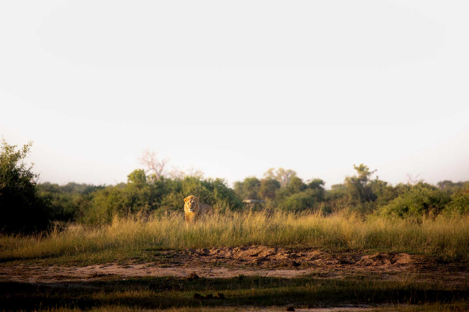 Teagan Tracks the Famously Savage Lions of Savuti